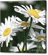Marguerite Blossom Canvas Print