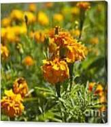 Marigold Flowers Canvas Print