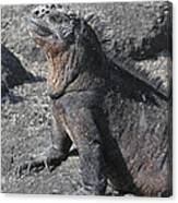 Marine Iguana  Amblyrhynchus Cristatus Canvas Print