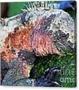 Marine Iguana Eating Green Seaweed Canvas Print