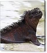 Marine Iguana Galapagos Canvas Print