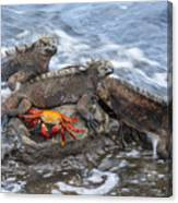 Marine Iguana Trio And Sally Lightfoot Canvas Print