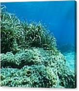 Marine Plants Canvas Print