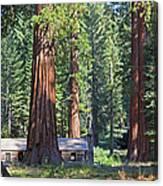 Giant Sequoias Mariposa Grove Canvas Print
