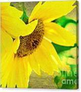 Mark Twain's Sunflowers Canvas Print