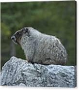 Marmot Canvas Print