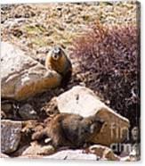 Marmots On Mount Evans Canvas Print