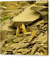 Marmots Playing Canvas Print