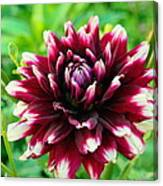 Maroon And White Dahlia Flower In The Garden Canvas Print