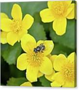 Marsh Marigold Canvas Print