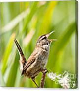 Marsh Wren Singing For Spring Canvas Print