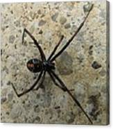 Maryland Black Widow Canvas Print