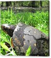Maryland Spotted Turtle Canvas Print