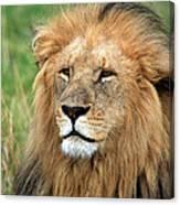 Masai Mara Lion Portrait    Canvas Print