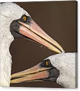 Masked Booby Couple Allopreening Canvas Print