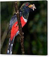 Masked Trogon With Moth Canvas Print