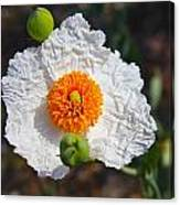 Matilija Poppy Buds And Bloom Canvas Print