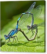 Mating Damselflies Canvas Print