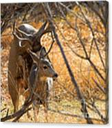 Mating Mulies Canvas Print
