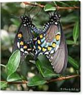 Mating Swallowtails Canvas Print