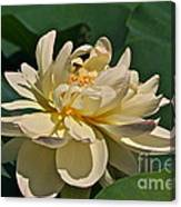 Mature Lotus Flower And Cute Hovering Honeybee Canvas Print