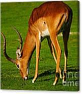 Mature Male Impala On A Lawn Canvas Print