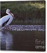 Mature Pelican   #9337 Canvas Print