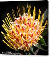 Maui Protea Canvas Print