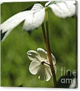 May Apple Flower Canvas Print