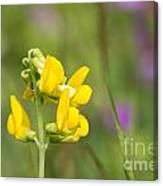 Meadow Vetchling Wild Flower Canvas Print