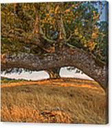 Medusa Oak Canvas Print