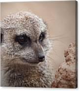 Meerkat 7 Canvas Print