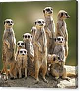 Meerkat Family On Lookout Canvas Print