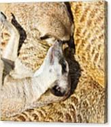 Meerkat Group Resting Canvas Print