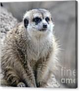 Meerkat Is Waiting Canvas Print