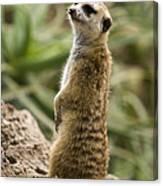 Meerkat Mongoose Portrait Canvas Print