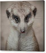 Meerkat Stare-down Canvas Print