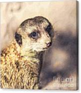 Meerkat Suricata Suricatta Canvas Print