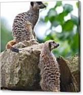 Meerkats Canvas Print