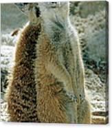 Meerkats Suricata Suricatta Canvas Print