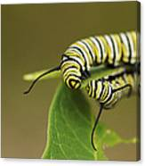 Meeting In The Middle - Monarch Caterpillars Canvas Print