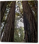 Meeting Of The Sequoias Canvas Print
