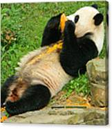 Mei Xiang Chowing On Frozen Treat Canvas Print