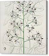 Melia Azedarach From 'phytographie Medicale' By Joseph Roques Canvas Print
