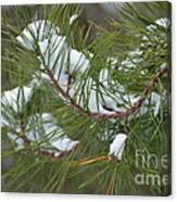 Melting Snow In The Pines Canvas Print