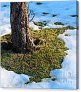 Melting Snow On Lawn Canvas Print