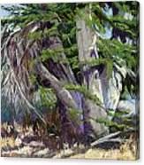 Mendocino Cypress II Canvas Print