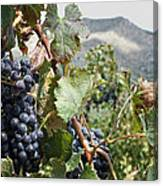 Merlot Ready Canvas Print