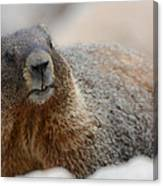 Merry Marmot Canvas Print