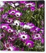 Mesembryanthemums 5 Canvas Print